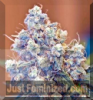 Female Iced Grapefruit Female 4 Marijuana Seeds